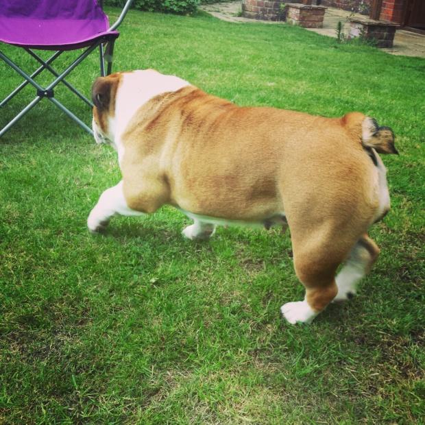 english-bull-dog-playing-in-garden