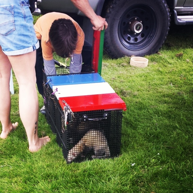 ferrets-in-racing-cages