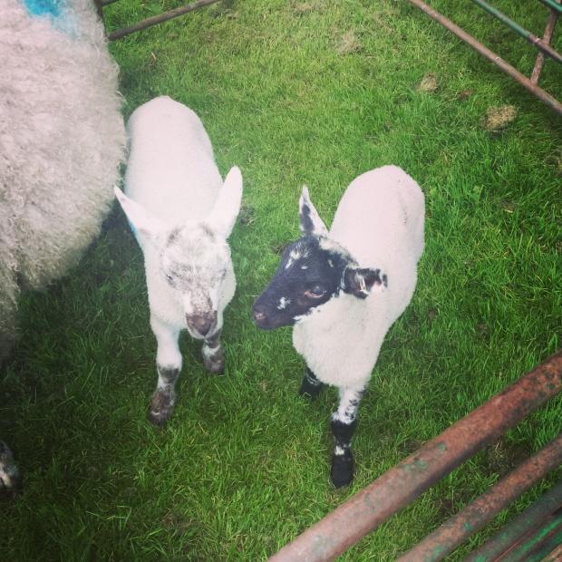 Lambs in Pen