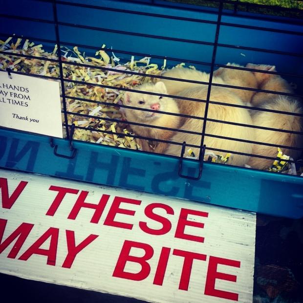 white-ferret-in-cage