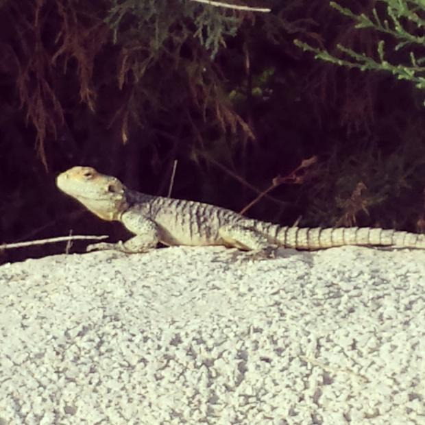 lizard-on-a-wall