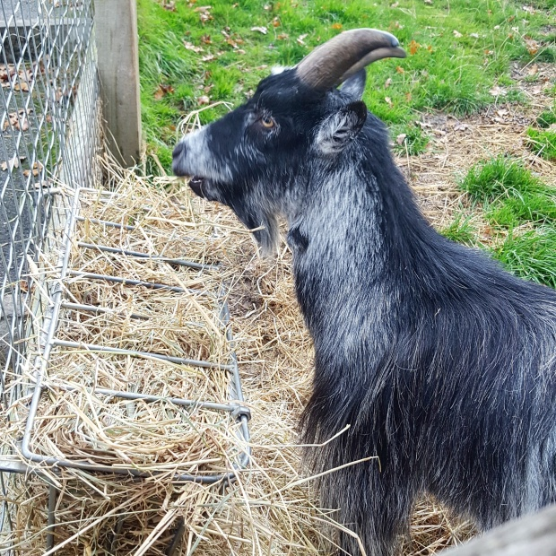 Goat at the Horniman museum and gardens