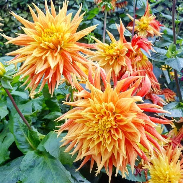 Dhalia Horniman Gardens