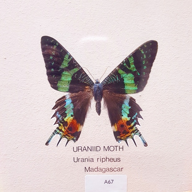 Moth on display at the Horniman museum